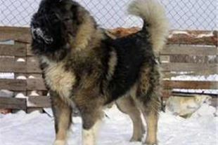 فروش توله سگ قفقازی