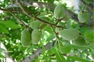 فروش ویژه 20 هکتار باغ بادام با باردهی فراوان