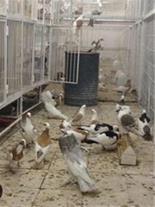 عرضه و فروش جوجه کبوترهای زینتی
