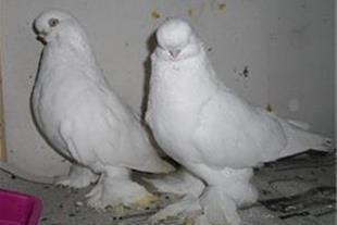 فروش کبوتر لانگ فیس سفید