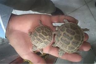 فروش ویژه سال 94 لاکپشت خاکی زیراز5 تا 15سانت(ریز)
