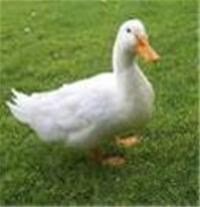 پرورش اردک دزفول(شرکت طیور سلامت میلاد)