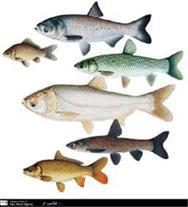 عرضه مستقیم انواع بچه ماهی گرمابی دریای خزر
