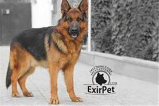 باشگاه پرورش سگ گارد و نگهبان اکسیرپت