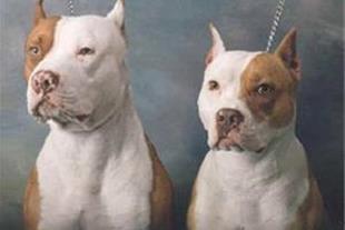 فروش سگ پیت بول