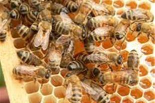 فروش عسل آویشن زنبورهای قوی چند قاب نوزاد زنبور