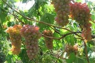 فروش مزرعه کشاورزی شهر نرجه تاکستان