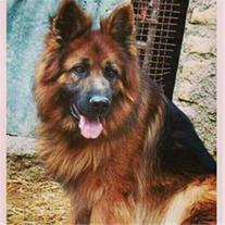 فروش تخصصی سگ های قفقازی، ژرمن، هاسکی، گارد