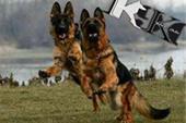 باشگاه پرورش و آموزش سگ ایران ، فروش توله هاسکی