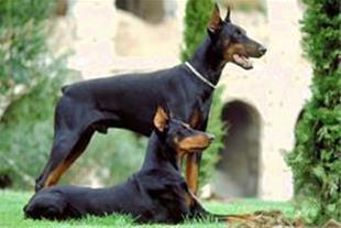سگ دوبرمن اصیل