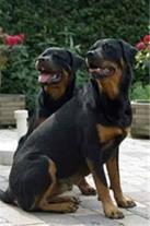 سگ روتوایلر اصیل