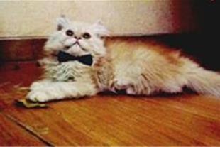 فروش گربه پرشین فروش فوری