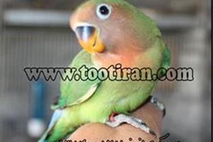 فروش جوجه برزیلی سبز پچ فیس 2 ماهه رام و دستی