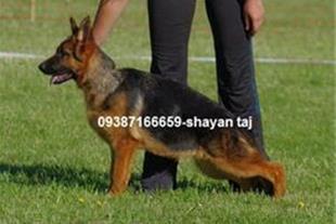 فروش سگ ژرمن شفرد وارداتی و داخلی