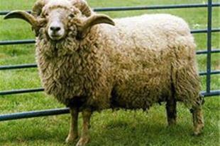 فروش گوسفند زنده در تبریز