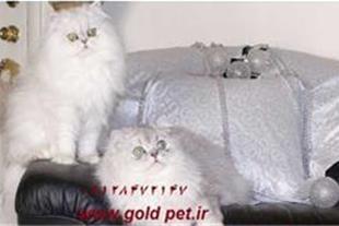 فروش گربه پرشین کت