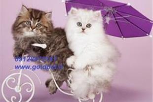 خرید و فروش گربه پرشین کت
