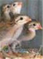 جوه مرغ شاخدار