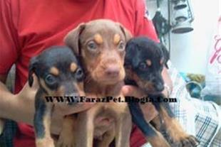 فروش توله سگهای دوبرمن اورجینال