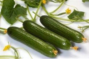 فروش انواع بذر خیار گلخانه ای