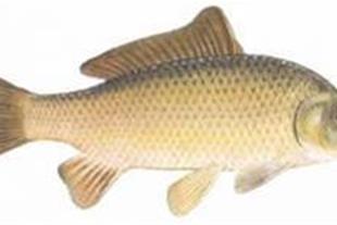 فروش ماهی و بچه ماهی کپور , فیتوفاگ , آمور