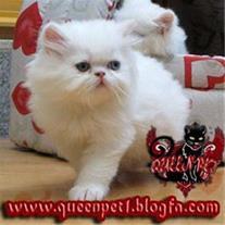 فروش بچه گربه پرشین کت نر فلت با چشمانی دورنگ ابی