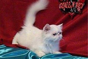 فروش گربه پرشین کت ماده سفید چشم آبی سوپر فلت
