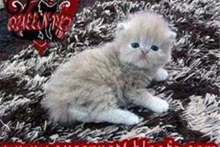 فروش گربه پرشین کرم رنگ ماده فلت