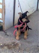 توله سگ ژرمن شیپرد 3 ماهه