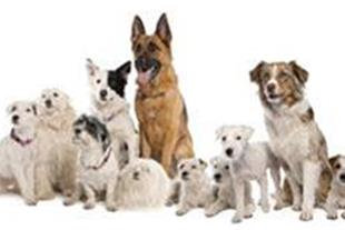 فروش انواع سگ نگهبان  در شیراز