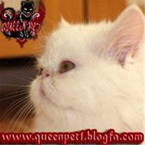 فروش گربه پرشین نر سوپر فلت با چشمانی عسلی و بسیا