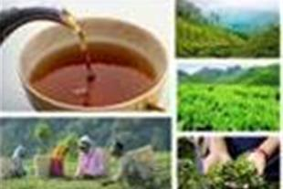 انواع چای فله و بسته بندی / متناسب با نیاز شما