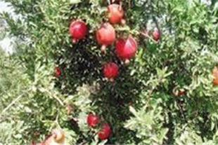 پیش فروش انار ساوه و رب خانگی