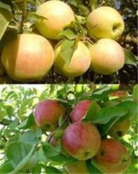 فروش سیب درختی - 1