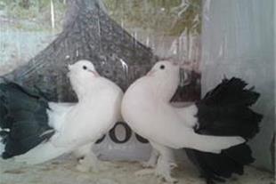 کبوتر زینتی.فروش به شرط تخم وجوجه