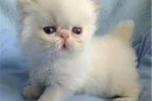 توله گربه های پرشین فلت و سوپرفلت چشم آبی اصیل