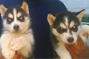 فروش مناسب سگ(توله) هاسکی