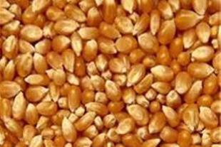 واردات ذرت دامی از گمرک امیرآباد
