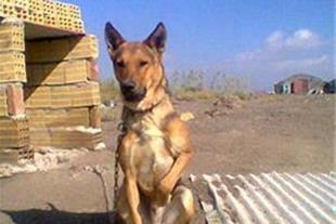 فروش سگ ژرمن موکوتاه اصیل