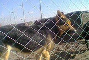 فروش سگ ژرمن اصیل