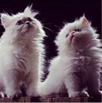 فروش گربه پرشین کت ، توله پرشین