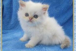فروش بچه گربه پرشین کت هیمالین ردپوینت بسیار اصیل