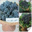 فروش نهال انگور سیاه سردشت (رشه)