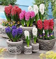 فروش گل سنیل هلندی درجه یک,پیاز لاله هلندی