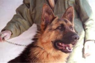 سگ ژرمن شیپرد
