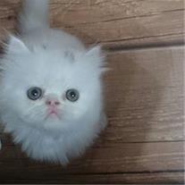فروش بچه گربه پرشین زیبا