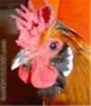 جوجه مرغ بومی تخمگذاردرخوزستان