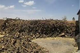 خرید و فروش چوب مرکبات در تناژ بالا