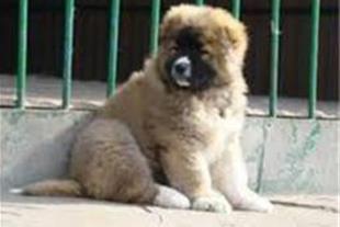 فروش توله قفقازی وارداتی ,خرید واردات سگ قفقازی