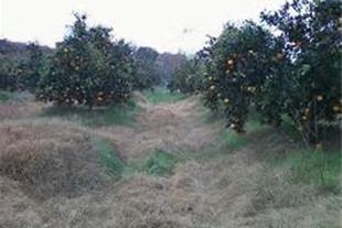 فروش باغ پرتقال تامسون در بهشهر